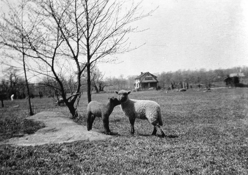 Arden Sheep